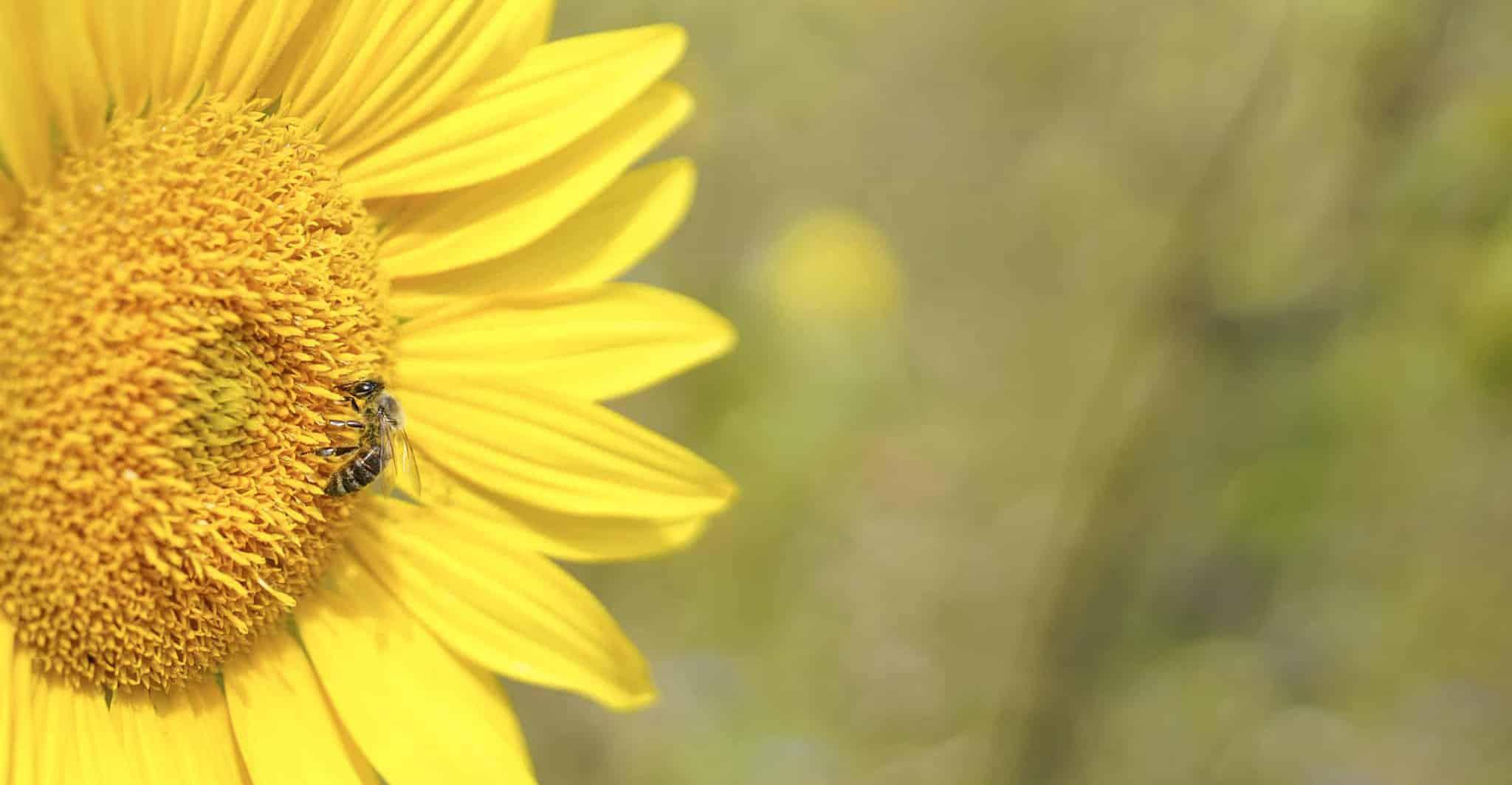 Biene auf einer Blume auf der AFRISO Bienenweide