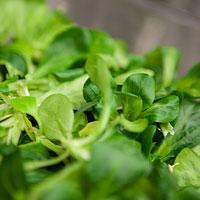 AFRISO Kantine Salat